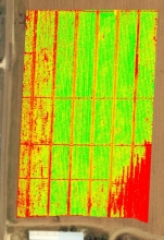 Tomatoes showing water stress NDVI